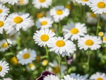 Weißes Gänseblümchen oder Bellis perennis Stockfoto
