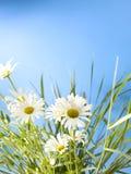 Weißes Gänseblümchen-Räder Stockbild