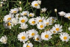 Weißes Gänseblümchen ` s an einem sonnigen Tag Lizenzfreie Stockfotografie