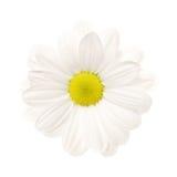 Weißes Gänseblümchen trennte Stockbilder