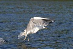 Weißes gannet Flattern stockfotografie