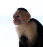 Weißes gegenübergestelltes Capuchinfallhammer headshoot Stockbild