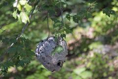Weißes gegenübergestelltes Hornissen-Nest Lizenzfreie Stockfotografie