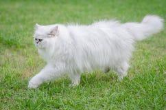 Weißes Gehen der persischen Katze Lizenzfreies Stockbild