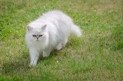 Weißes Gehen der persischen Katze Lizenzfreie Stockfotos