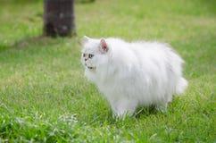 Weißes Gehen der persischen Katze Lizenzfreie Stockbilder
