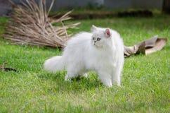 Weißes Gehen der persischen Katze Lizenzfreie Stockfotografie