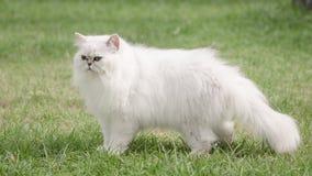 Weißes Gehen der persischen Katze Stockfoto