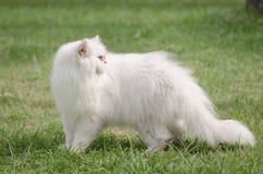 Weißes Gehen der persischen Katze Lizenzfreies Stockfoto