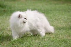 Weißes Gehen der persischen Katze Stockbilder