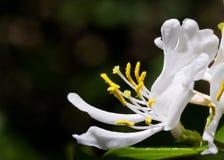 Weißes Geißblatt-Blüte Stockfotografie