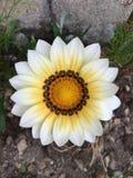 Weißes gelbes Gazaniablumenblühen stockbild