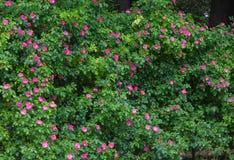 Weißes Gitter, das eine rote Roserebe unterstützt. Stockfoto