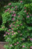 Weißes Gitter, das eine rote Roserebe unterstützt. Lizenzfreie Stockfotos