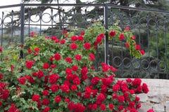 Weißes Gitter, das eine rote Roserebe unterstützt. Stockbilder