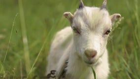 Weißes goatie Cudly, das vorwärts schaut und in einer Weide in SlomO riecht stock video footage