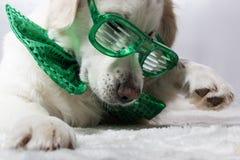 Weißes golden retriever mit grünen St- Patrick` s Parteigläsern Stockfotografie