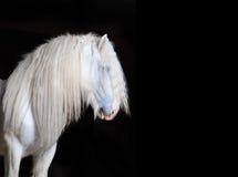 Weißes Grafschaftspferd mit schwarzem Hintergrund Stockfoto