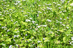 Weißes Gras blüht Hintergrund Stockfoto