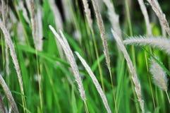 Weißes grassflower Stockbilder