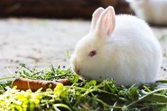Weißes Häschen, das Gras und Karotten isst Lizenzfreies Stockbild