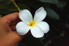 Weißes hübsches des Plumeria und hell in der Natur Lizenzfreie Stockbilder