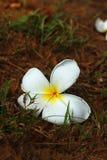 Weißes hübsches des Plumeria und hell in der Natur Lizenzfreie Stockfotografie