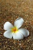 Weißes hübsches des Plumeria und hell in der Natur Stockfotografie