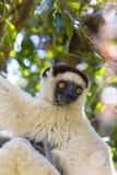 Weißes haariges sifaka auf einem hellen und bunten Dschungel in Madagaskar Lizenzfreie Stockbilder