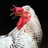 Weißes Hahntierporträt Stockfoto
