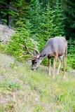 Weißes Heck-Rotwild in Banff Stockfotografie
