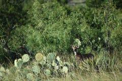 Weißes Heck-Rotwild Montana stockfotos