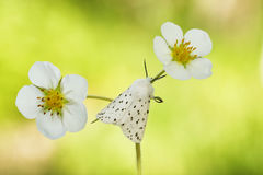 Weißes Hermelin mothSpilosoma lubricipedum Stockbilder