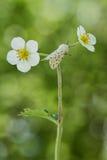 Weißes Hermelin mothSpilosoma lubricipedum auf dem Erdbeerfluß Lizenzfreie Stockfotos