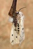 Weißes Hermelin (Spilosoma-lubricipeda) mit der Unterseite sichtbar Lizenzfreies Stockbild