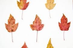Weißes Hintergrundmuster des trockenen mehrfarbigen Herbstlaubmusters Stockfoto