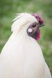 Weißes Huhn Stockbild