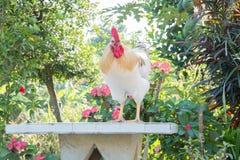 Weißes Huhn Lizenzfreies Stockfoto