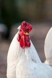Weißes Huhn Lizenzfreies Stockbild