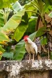 Weißes Huhn Stockfoto