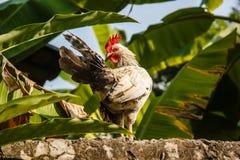Weißes Huhn Lizenzfreie Stockbilder