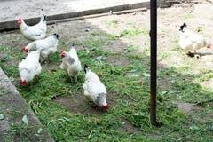 Weißes Huhn, das im Frühjahr auf den Hühnerstall geht landwirtschaft vogelkunde Geflügelhof lizenzfreies stockfoto