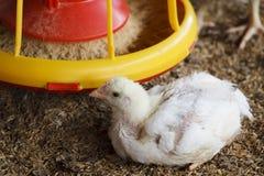 weißes Huhn mit Zufuhr stockfotos
