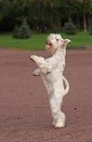 Weißes Hundebleiben Stockbild