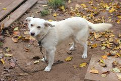 Weißes Hundefreien im Herbst stockfoto