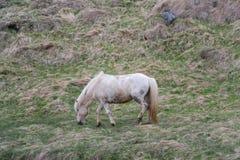 Weißes isländisches Pferd, Seitenprofil lizenzfreies stockbild