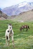 Weißes junges Pferd auf Weide des grünen Grases Lizenzfreie Stockbilder
