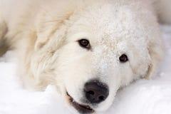 Weißes junges Schäferhund-Porträt Stockbilder