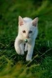 Weißes Kätzchen Lizenzfreie Stockfotografie