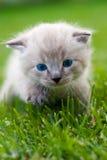 Weißes Kätzchen auf dem Gras. Lizenzfreie Stockbilder